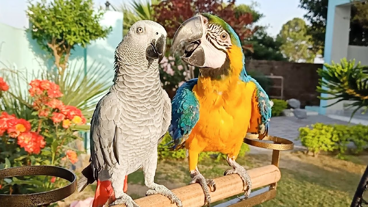 african grey macaw parrots